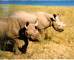 Kiplings and Cleopatra the rhinos -- June 1998