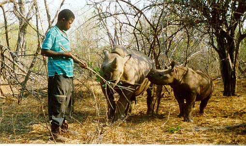 Bongani, a rhino minder at Tashinga, encourages Mugofu and Mbizhi to browse